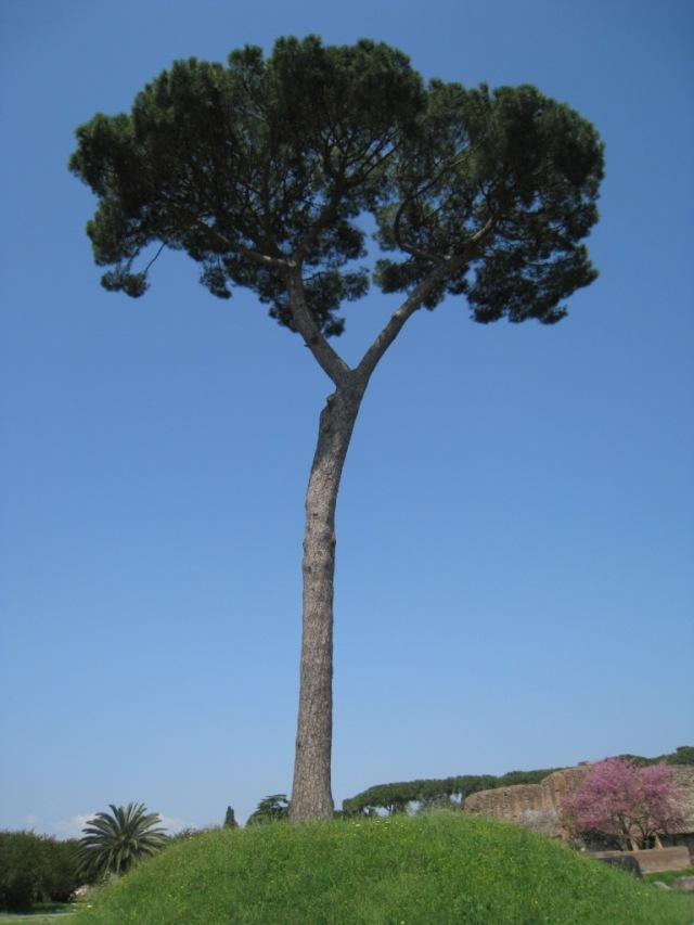 El majestuoso pino de Roma